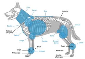 L'Ostéopathie chez le Terre-neuve