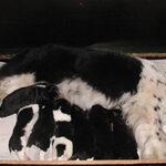 elevage-terre-neuve-belladonna-pups