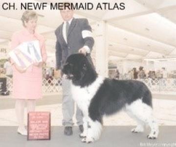 terre-neuve-champion-atlas