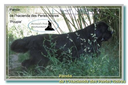 Panda de L'Hacienda des Perles Noires